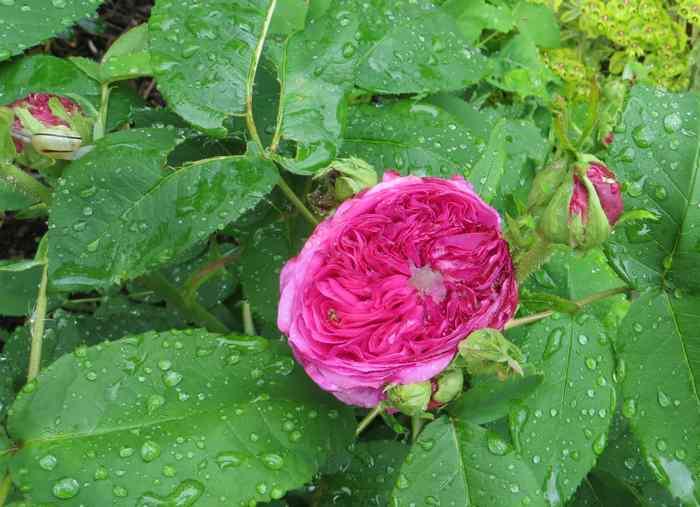 roses en vrac Img_4718