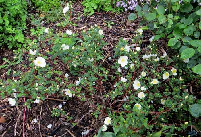roses en vrac Img_4719