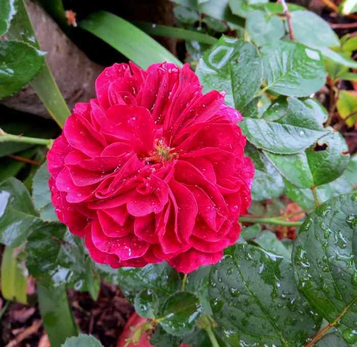 roses en vrac Img_4721