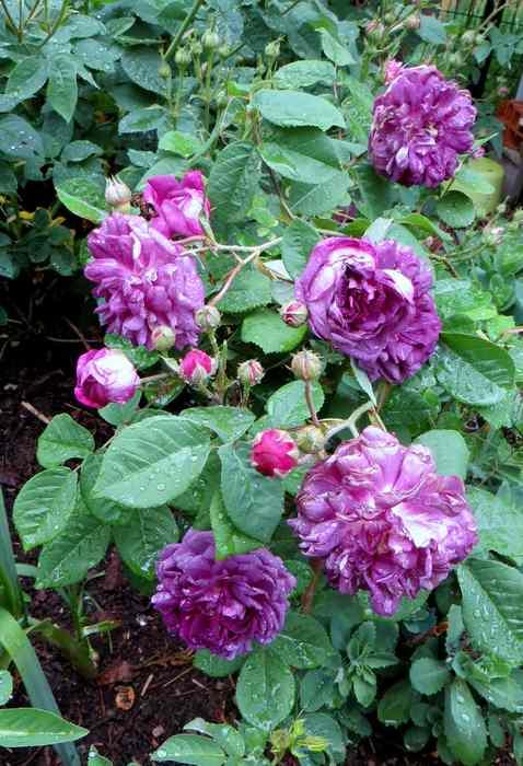 roses en vrac Img_4723
