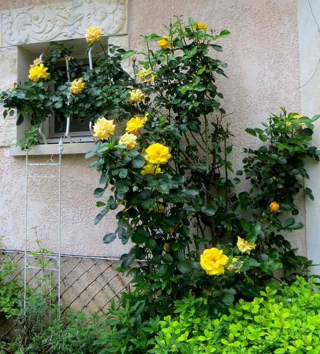 roses en vrac Img_4725