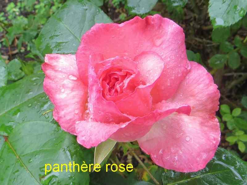 roses en vrac - Page 2 Img_4733