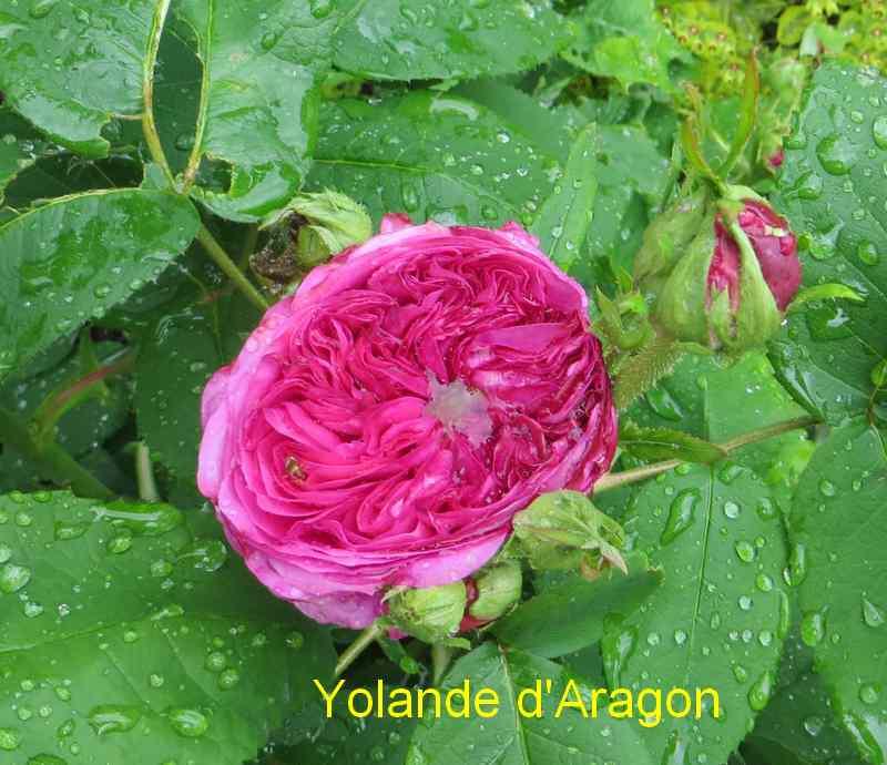 roses en vrac - Page 2 Img_4734