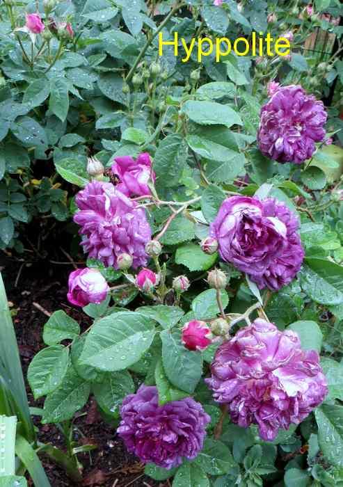 roses en vrac - Page 2 Img_4737