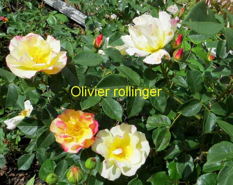 roses en vrac - Page 2 Img_4739
