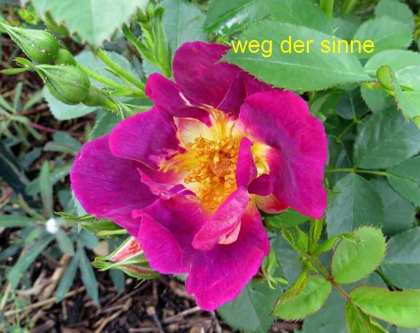 roses en vrac - Page 2 Img_4743