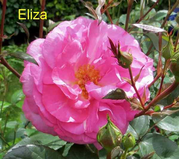roses en vrac - Page 2 Img_4746