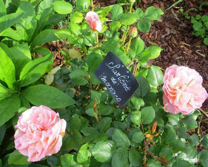 roses en vrac - Page 2 Img_4748