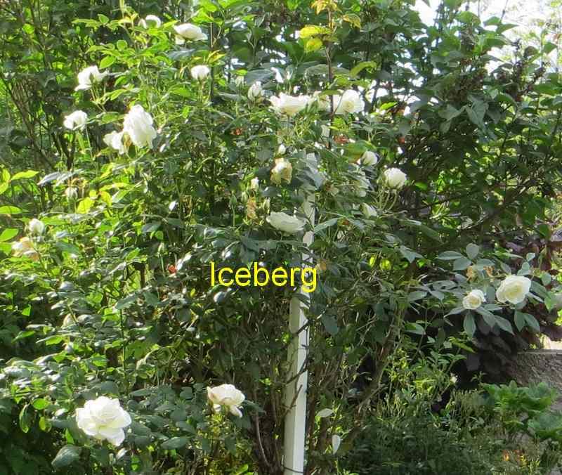 roses en vrac - Page 2 Img_4749