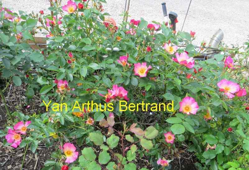 roses en vrac - Page 2 Img_4753