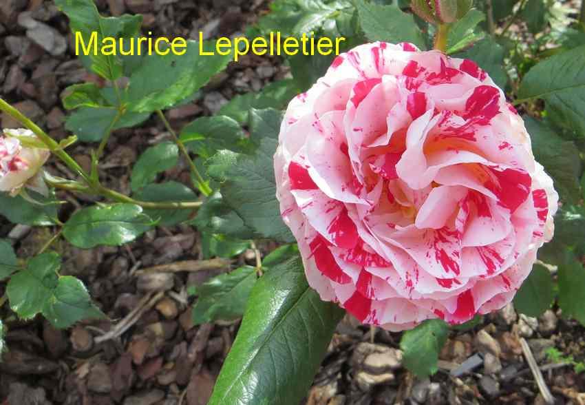 roses en vrac - Page 3 Img_4757
