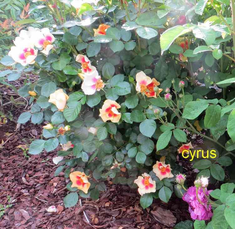 roses en vrac - Page 3 Img_4759