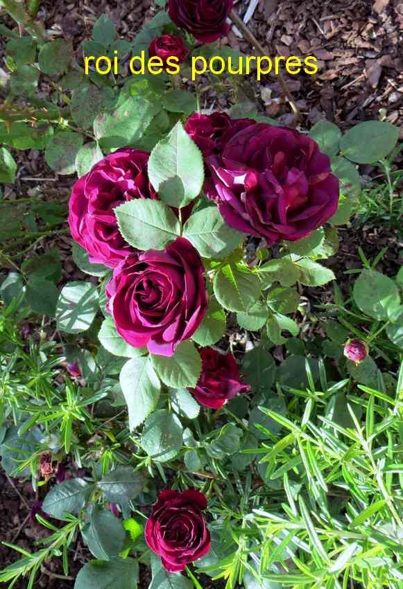 roses en vrac - Page 3 Img_4760