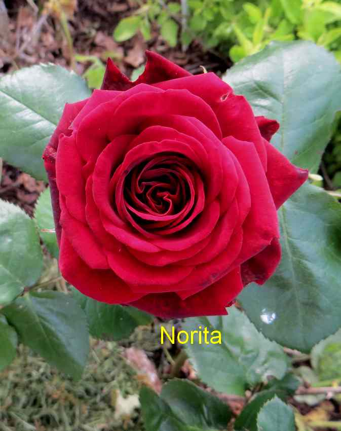 roses en vrac - Page 3 Img_4815