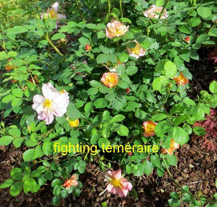 roses en vrac - Page 3 Img_4816