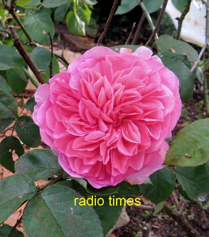roses en vrac - Page 3 Img_4822
