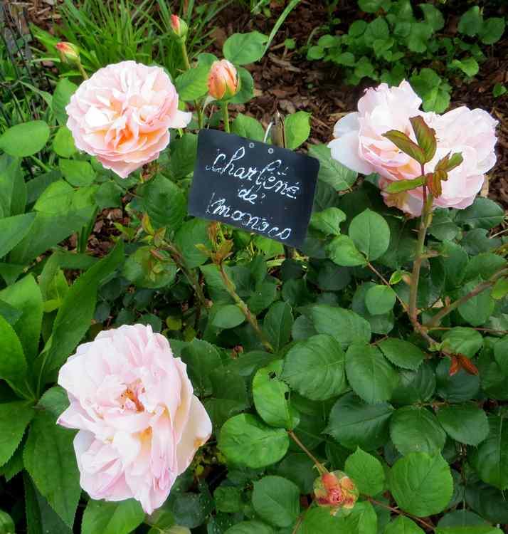 roses en vrac - Page 3 Img_4823