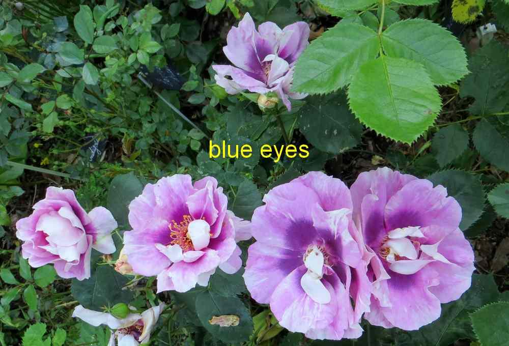 roses en vrac - Page 3 Img_4824