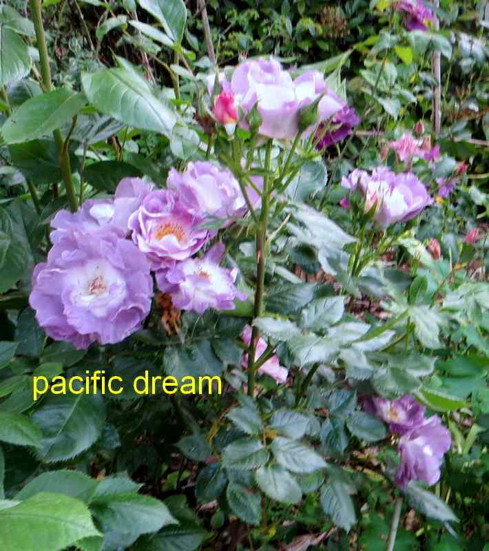 roses en vrac - Page 4 Img_4825