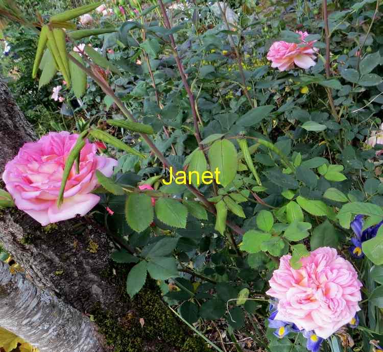 roses en vrac - Page 4 Img_4826