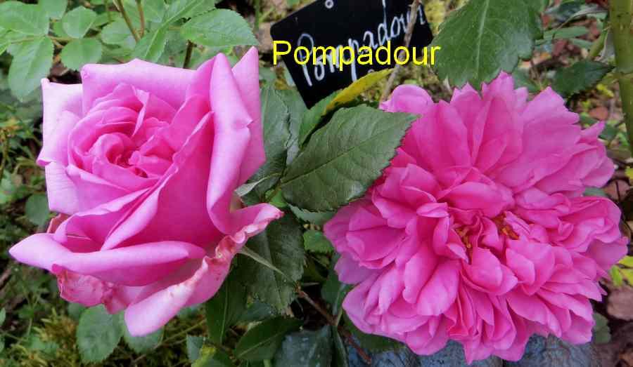 roses en vrac - Page 4 Img_4833