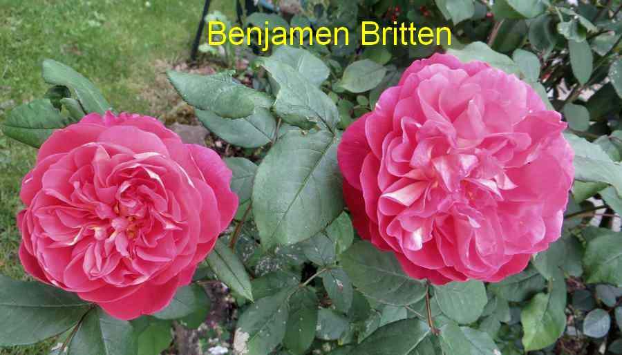 roses en vrac - Page 4 Img_4834