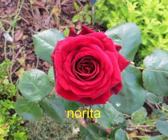 roses en vrac - Page 4 Img_4837