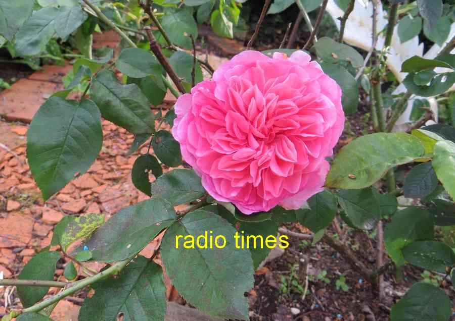 roses en vrac - Page 4 Img_4840