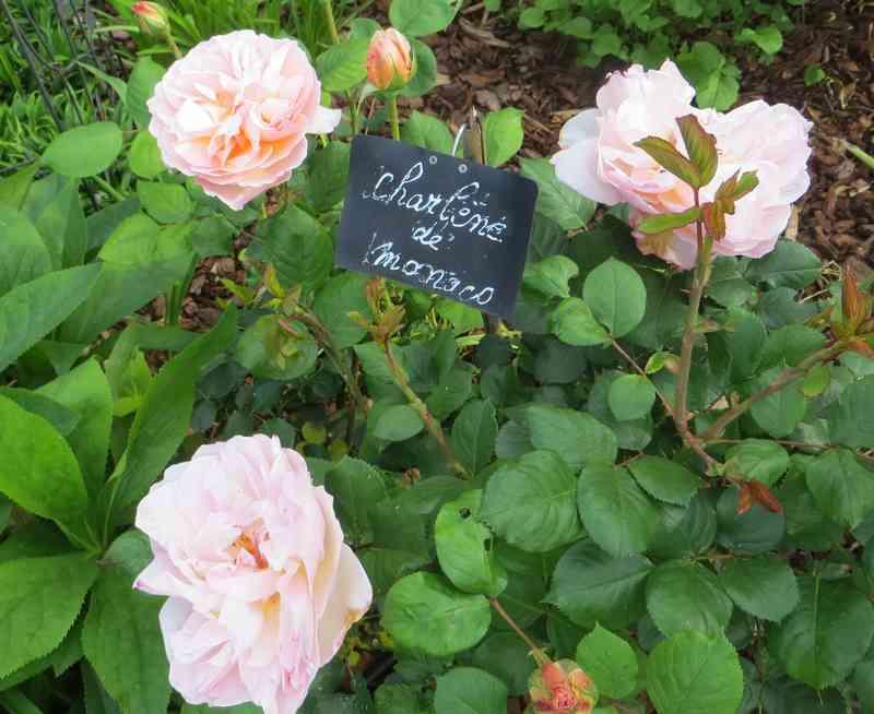 roses en vrac - Page 4 Img_4841