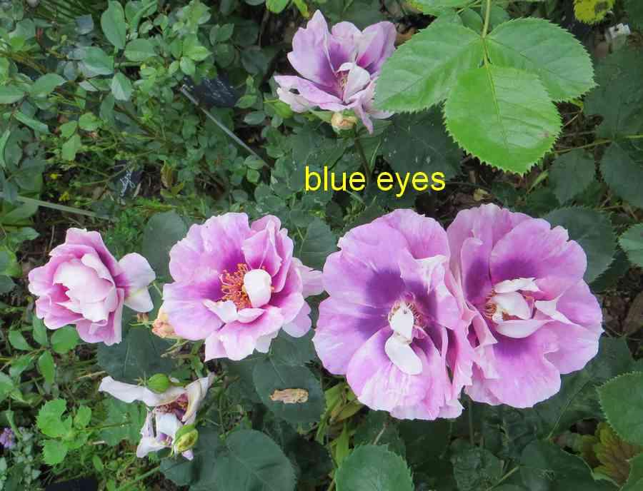 roses en vrac - Page 4 Img_4842