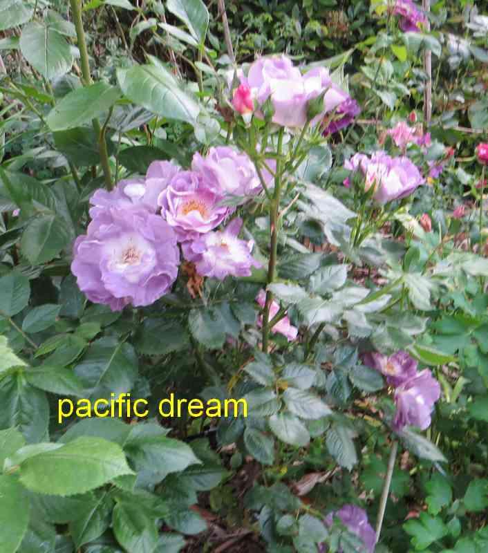 roses en vrac - Page 4 Img_4843