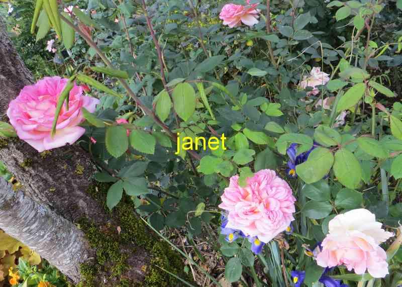 roses en vrac - Page 4 Img_4844