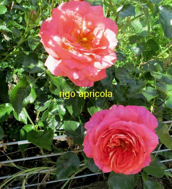roses en vrac - Page 5 Img_4916