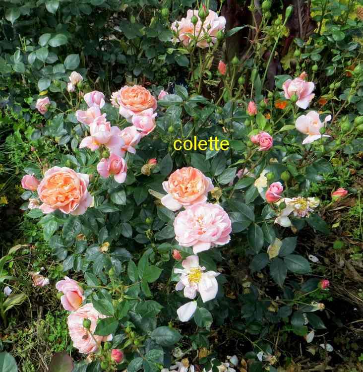 roses en vrac - Page 5 Img_4917