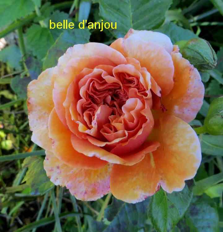 roses en vrac - Page 5 Img_4918