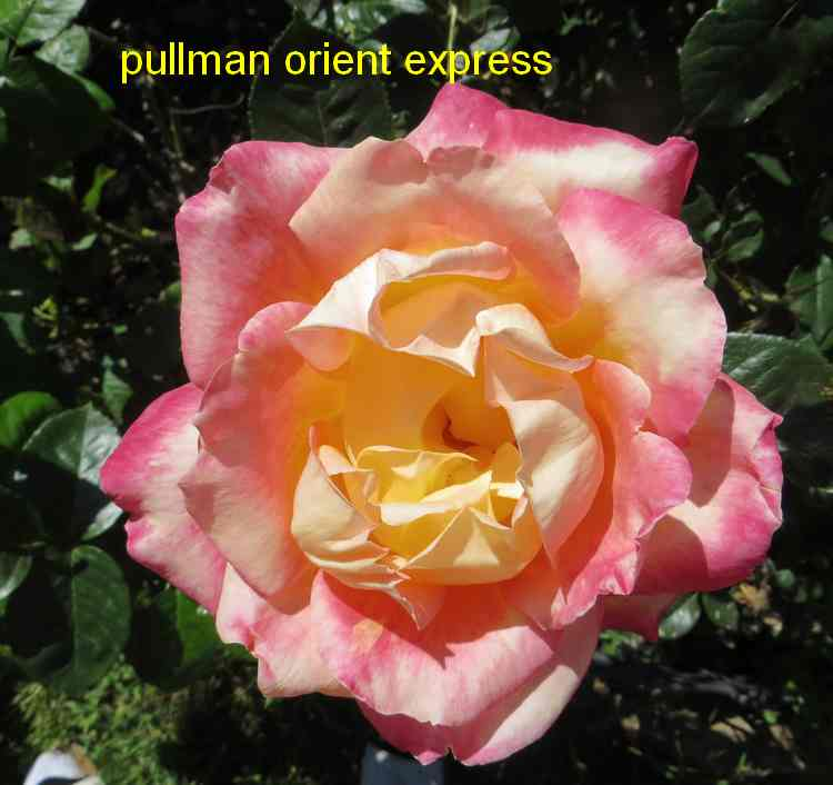 roses en vrac - Page 5 Img_5012
