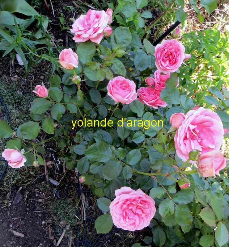 roses en vrac - Page 5 Img_5013