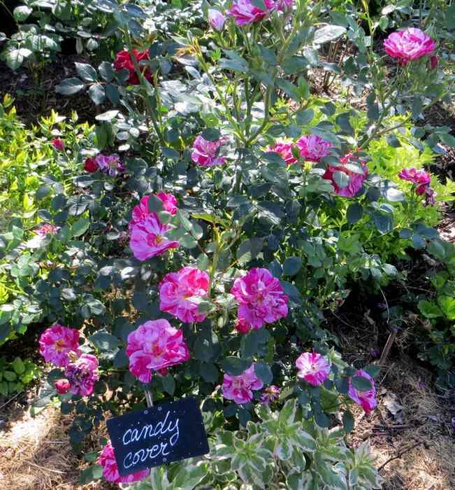roses en vrac - Page 5 Img_5014