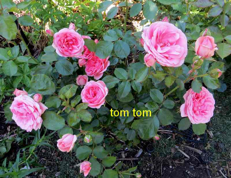 roses en vrac - Page 5 Img_5015