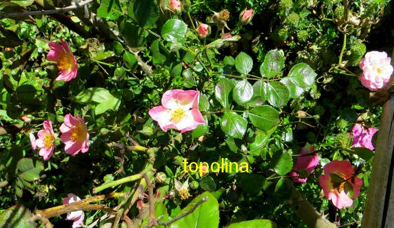 roses en vrac - Page 5 Img_5018