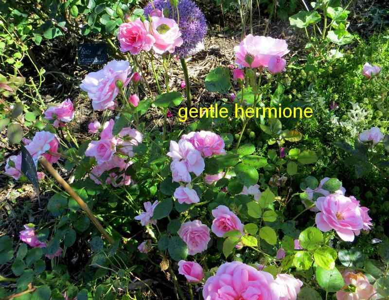 roses en vrac - Page 5 Img_5019