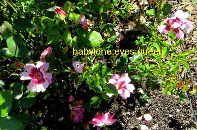 roses en vrac - Page 5 Img_5020