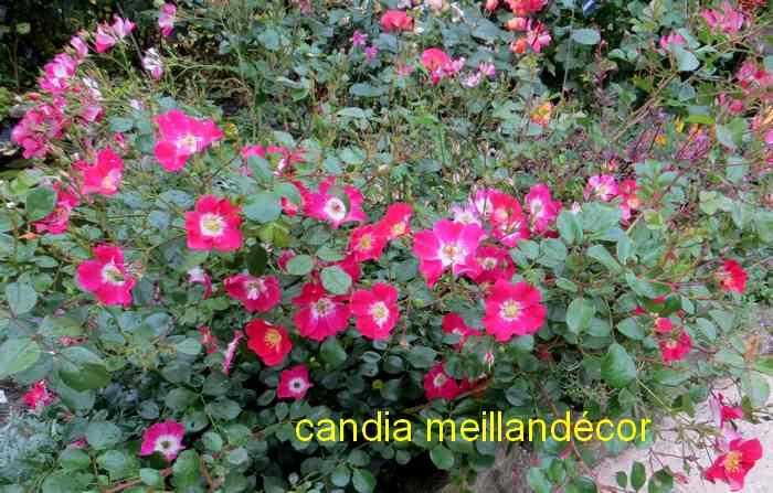 roses en vrac - Page 5 Img_5023