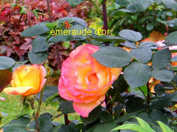 roses en vrac - Page 5 Img_5026