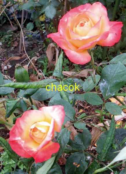 roses en vrac - Page 5 Img_5027