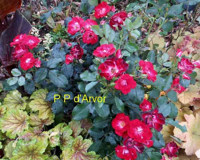 roses en vrac - Page 6 Img_5028