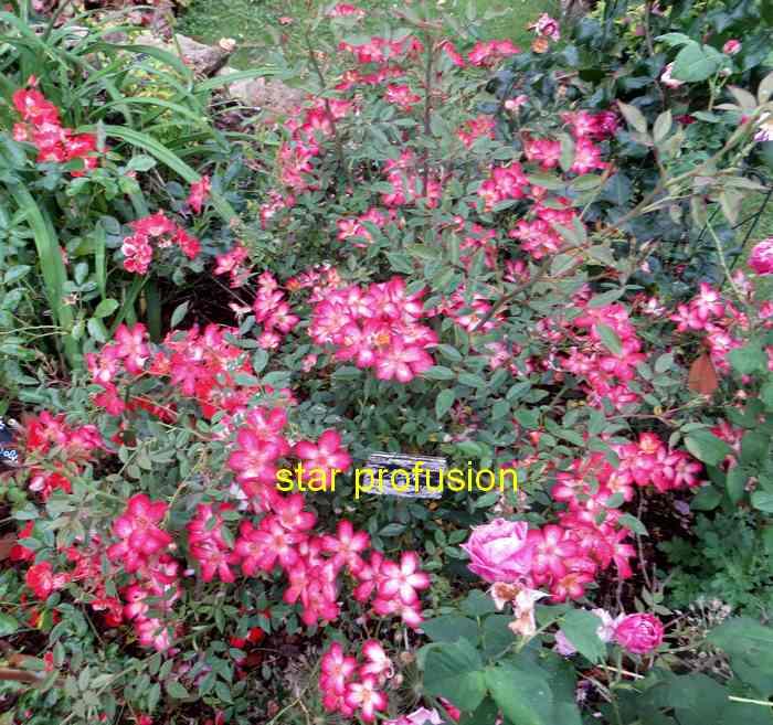 roses en vrac - Page 6 Img_5031