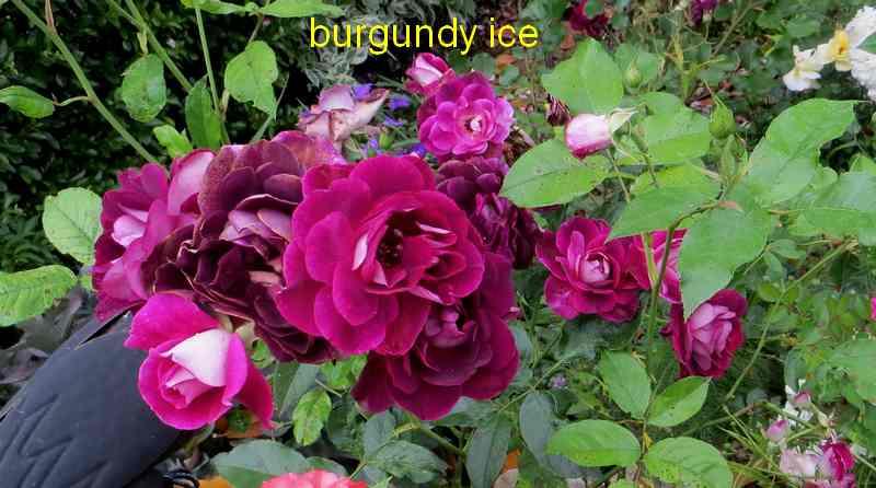 roses en vrac - Page 6 Img_5034