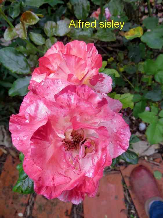 roses en vrac - Page 6 Img_5037