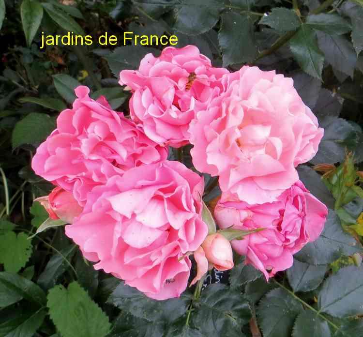 roses en vrac - Page 6 Img_5039